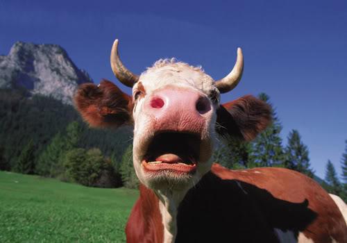 Cow hoof prints