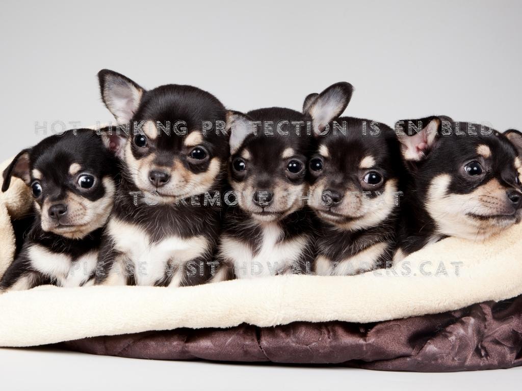 national puppy day chiguaguas little blak 1024x768