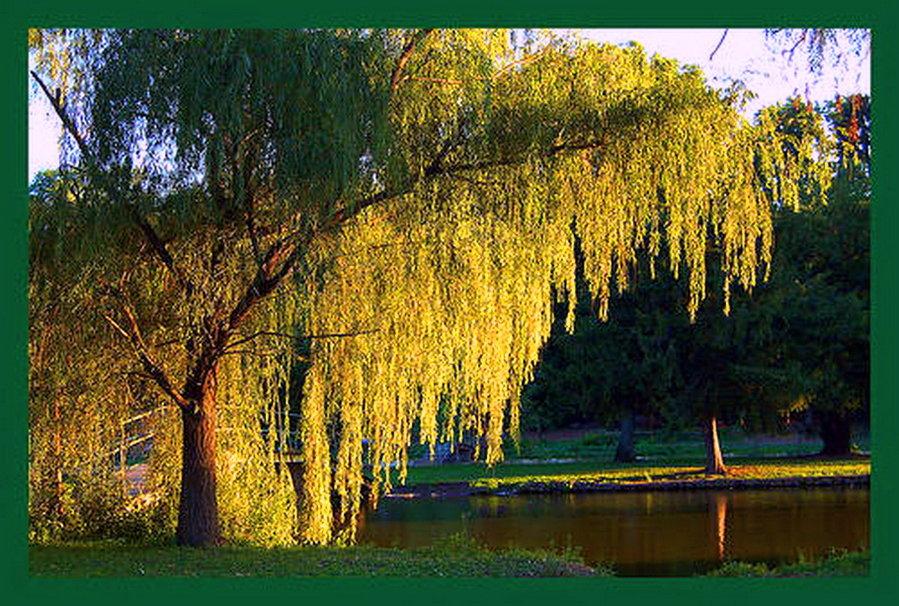 Wonderful weeping willow wallpaper   ForWallpapercom 899x606