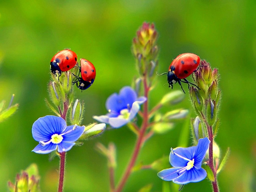 Image detail for   Ladybugs on Flowers Wallpaper   Download 1024x768