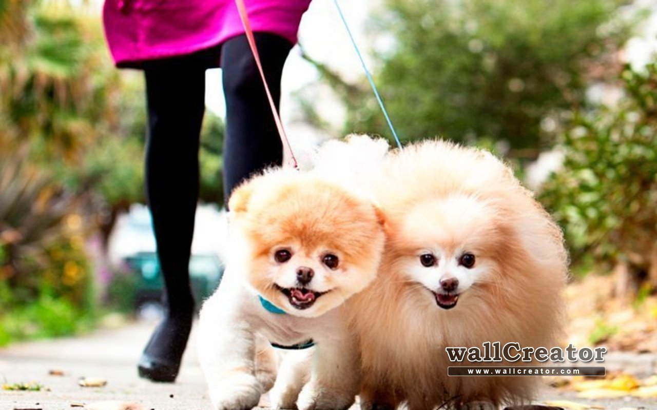 High Resolution Pictures Of Boo The Worlds Cutest Dog