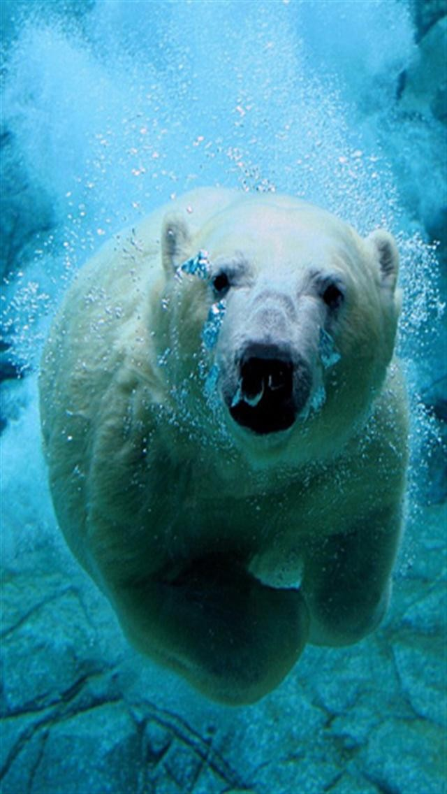 Swimming Polar Bear iPhone Wallpapers iPhone 5s4s3G Wallpapers 640x1136