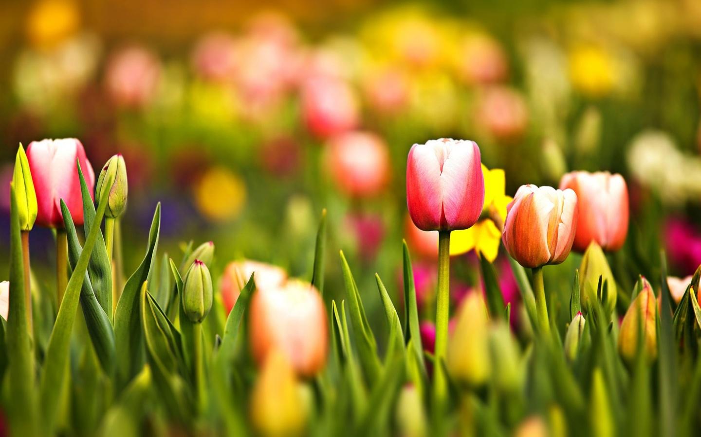 1440x900 Multicoloured Spring Tulips desktop PC and Mac wallpaper 1440x900