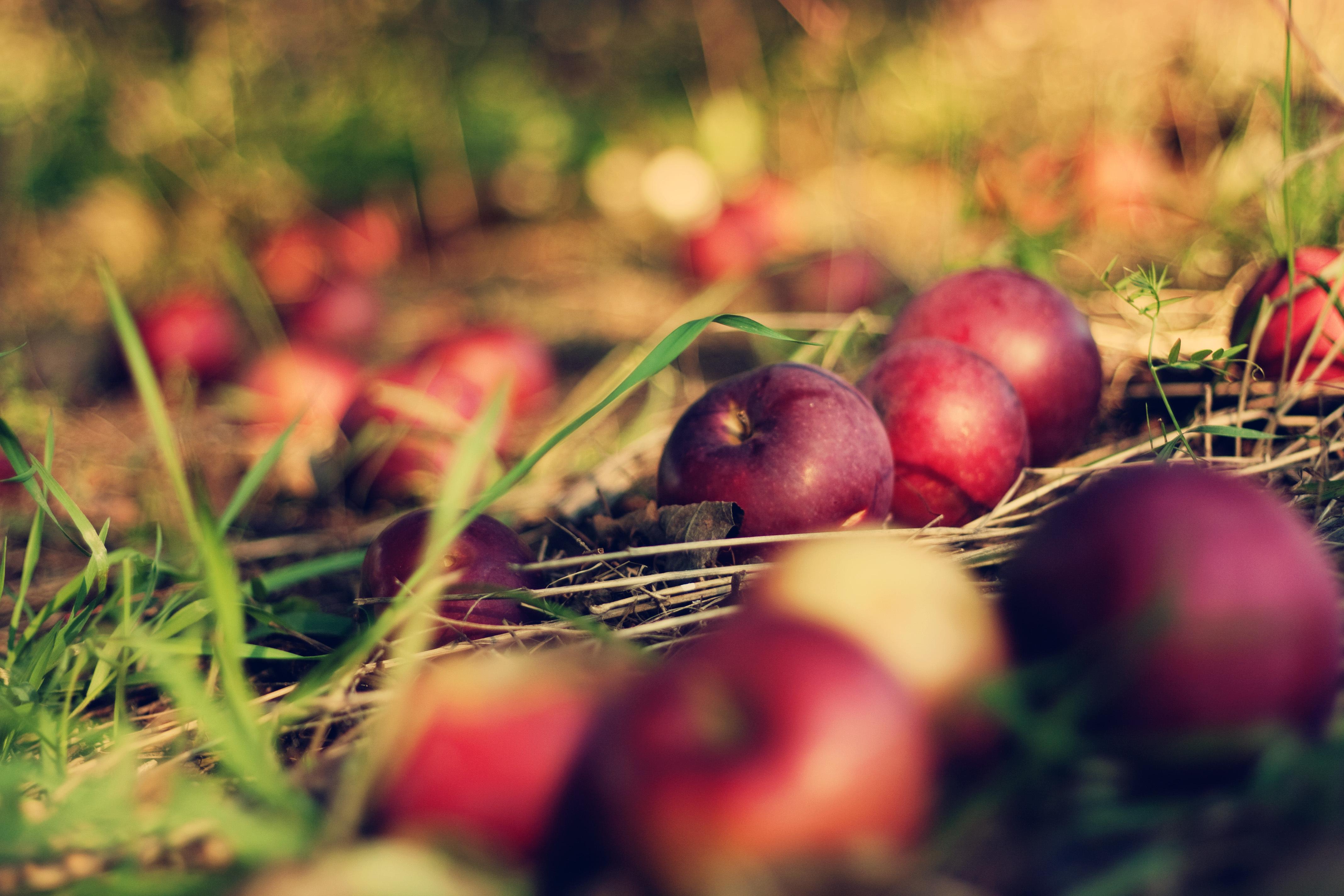 Land grass apples macro bokeh apple orchard bokeh wallpapers 4272x2848