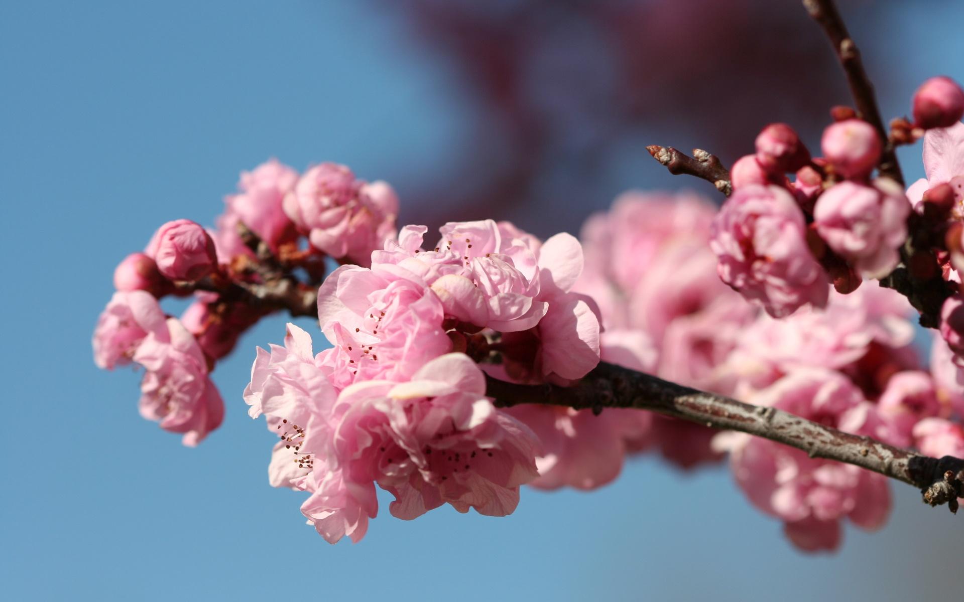 Cherry Blossom Facebook Cover wallpaper   849471 1920x1200