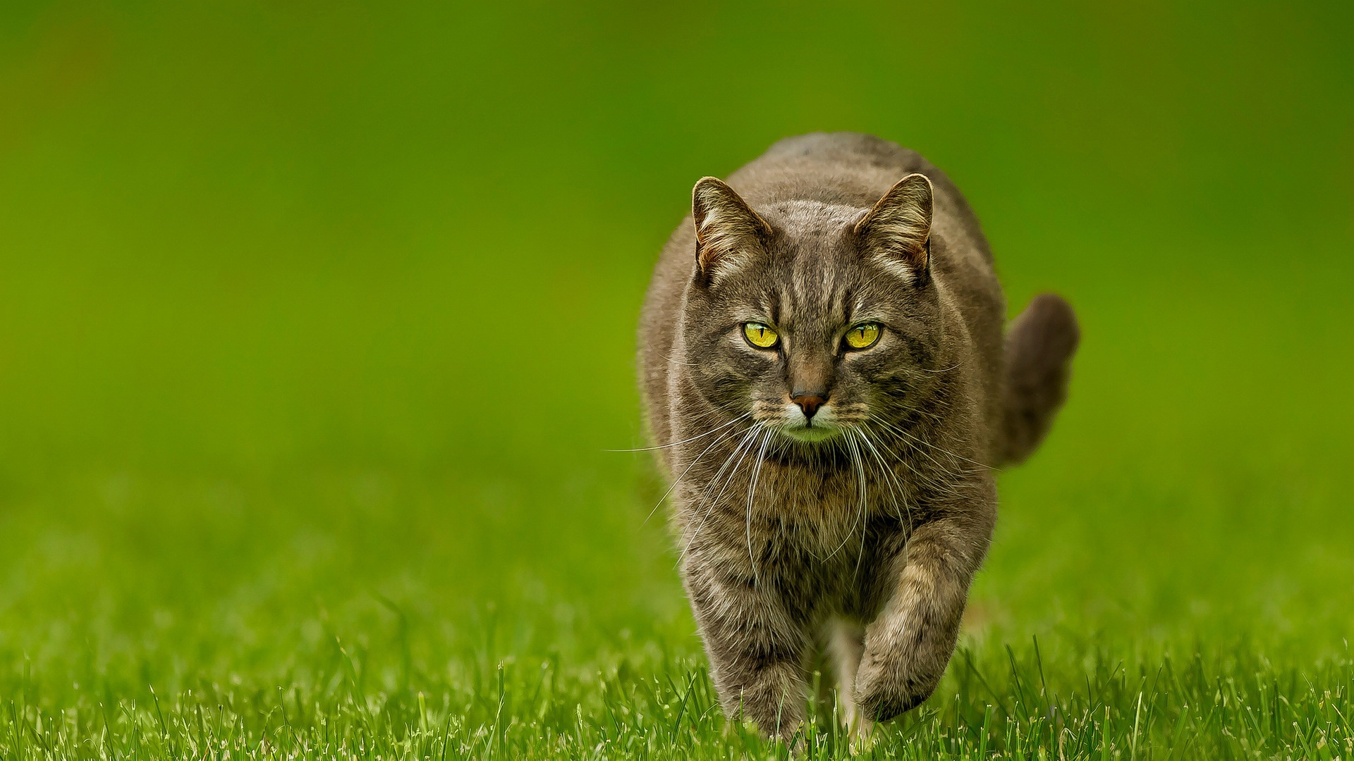 Cat Spring Lawn Green Nature Wallpaper Background Full HD 1080p 1920x1080