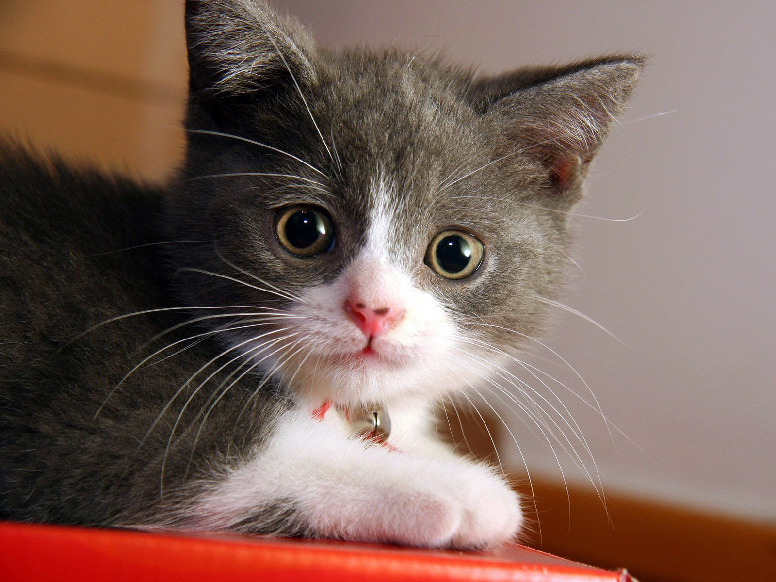 kitten wallpapers to share on your desktop a great site for any kitten 1600x1200