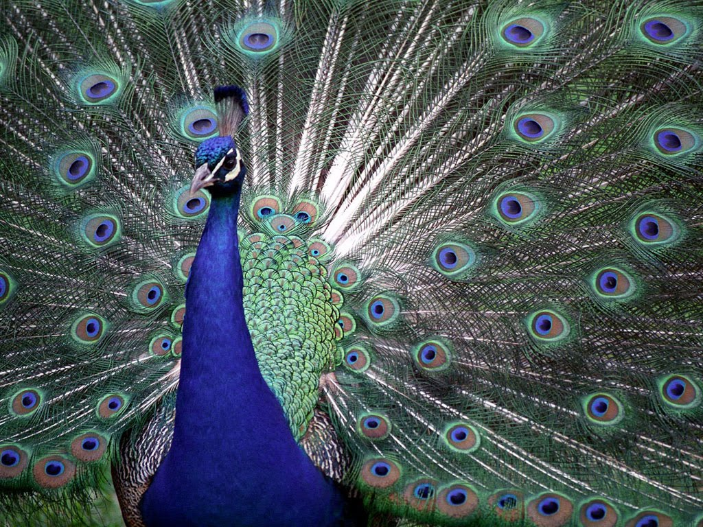 of India Peacock Indian Blue Peacock Wallpaper Blue Peacock 1024x768