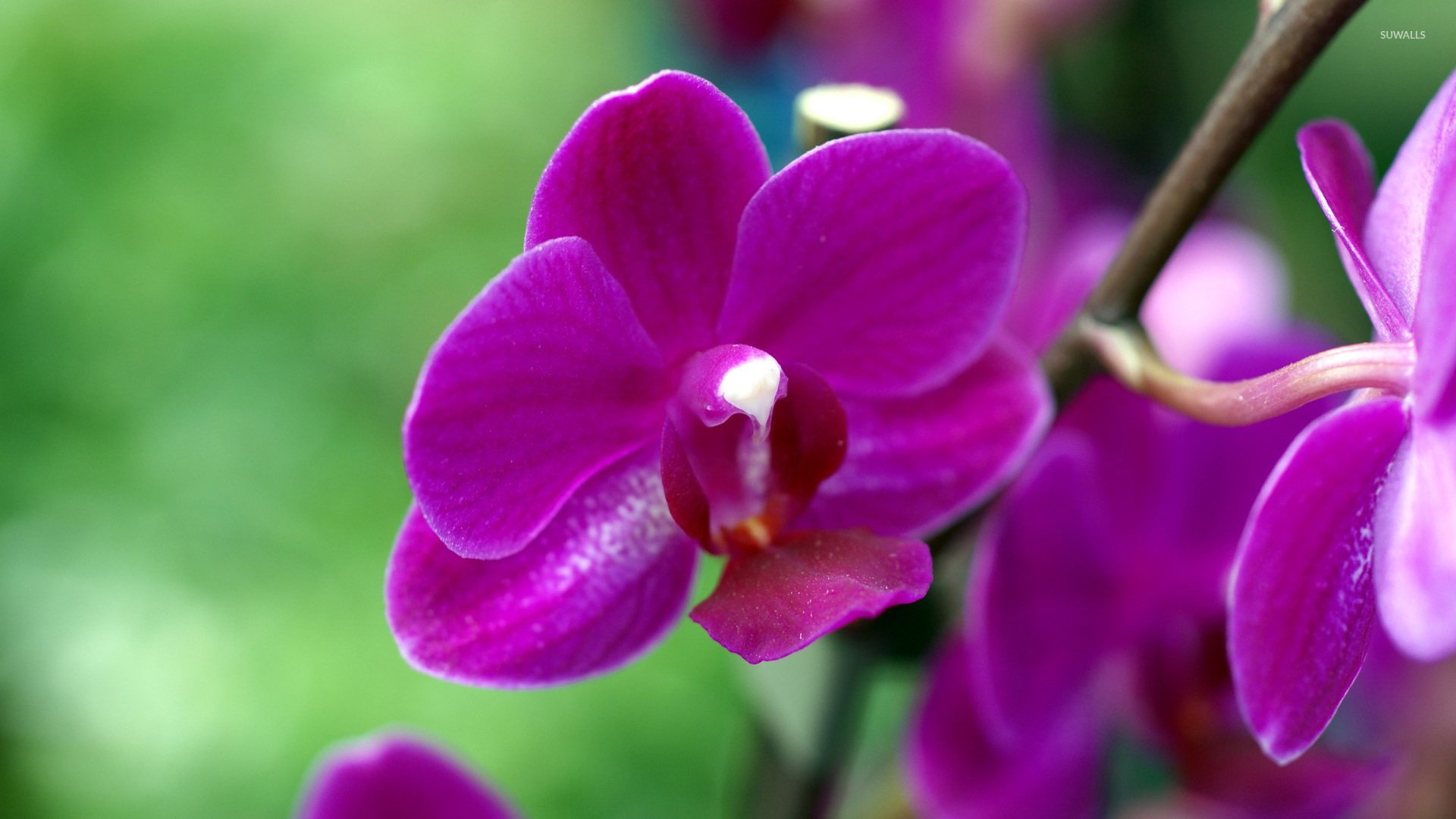 Purple Orchid wallpaper   Flower wallpapers   4228 1920x1080