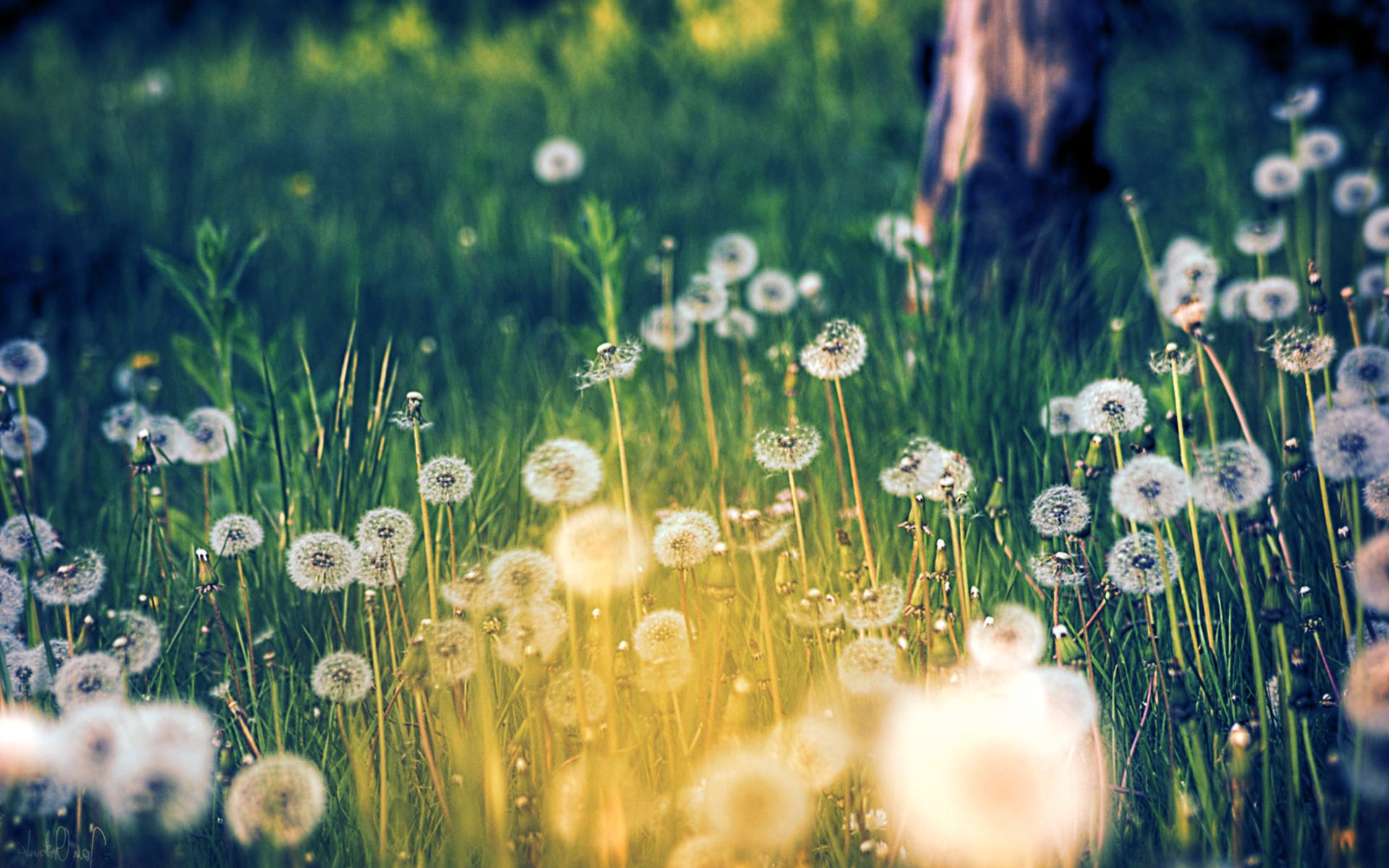 Download Dandelion Background 1920x1200