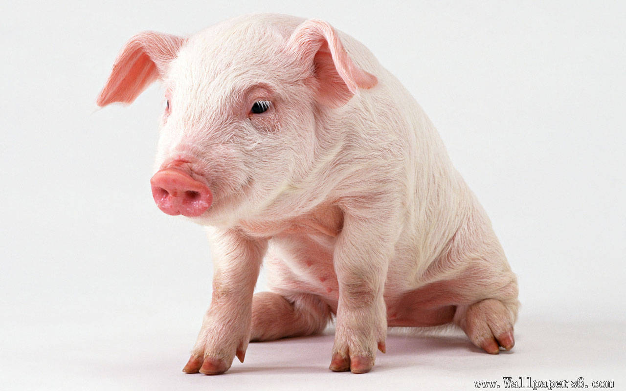 fatuous pig Animal Wallpapers   download wallpaperswindows 1280x800