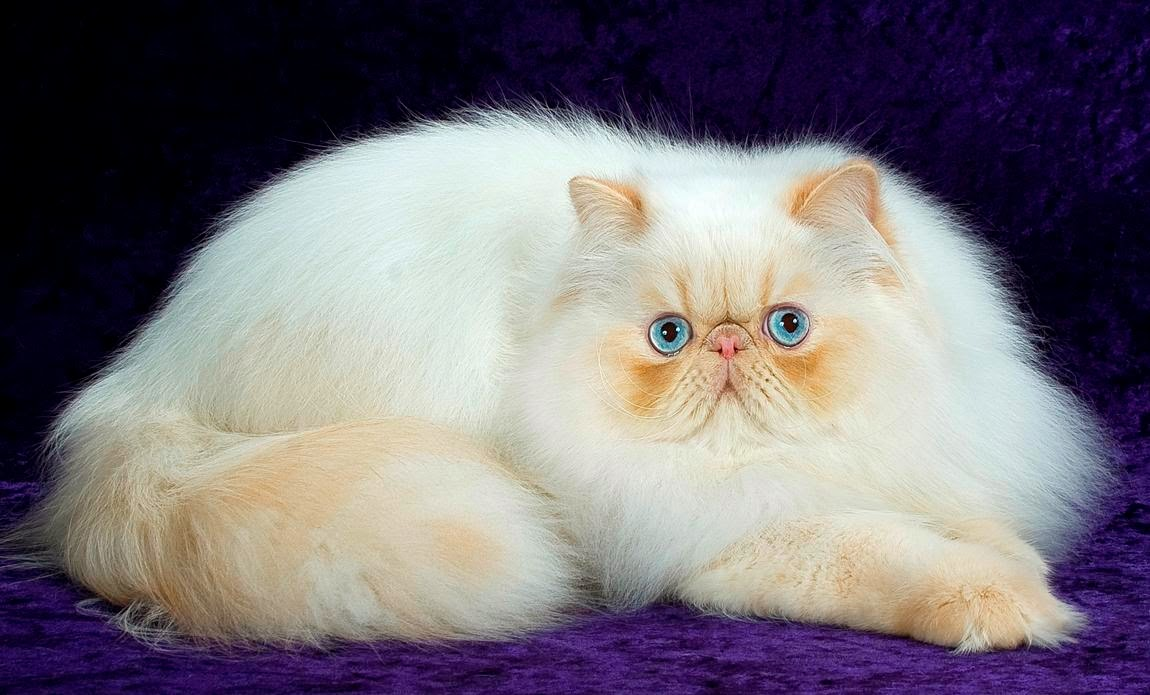 White Persian Cat Wallpapers HD Desktop Wallpapers Download 1150x695