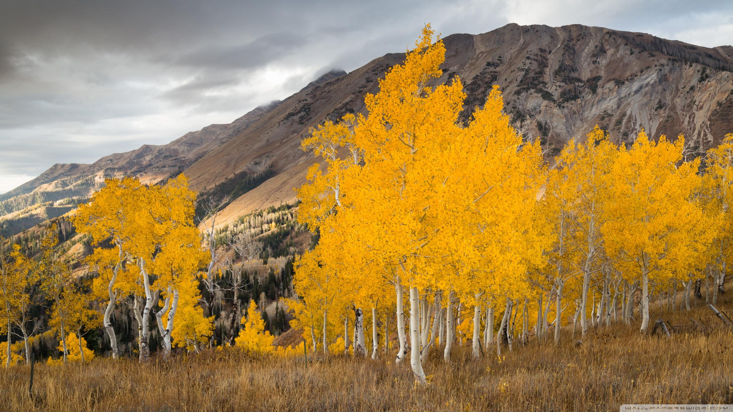 Aspen Trees In The Fall 4K HD Desktop Wallpaper for 4K Ultra HD 2560x1440