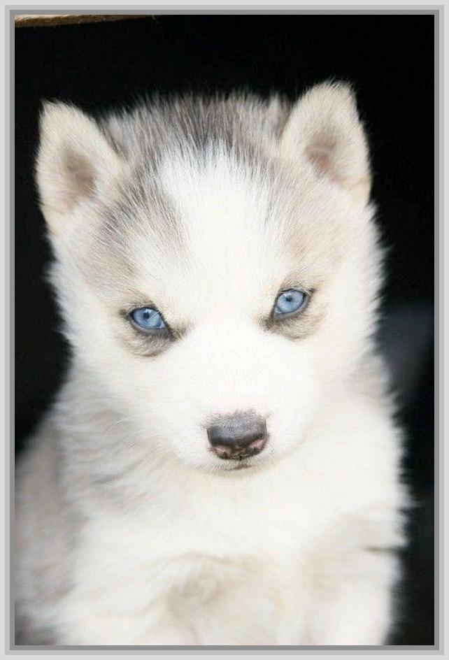 baby husky wallpaper desktop - photo #45