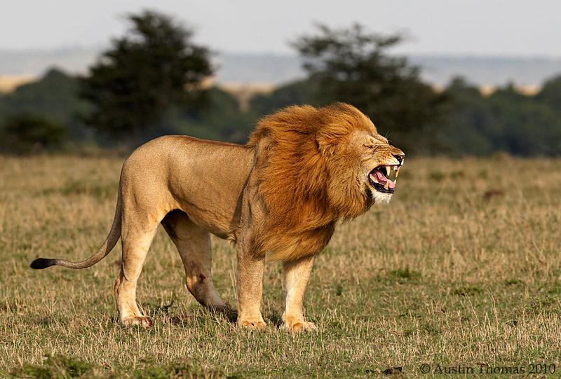 Lion Roar Wallpapers - WallpaperSafari