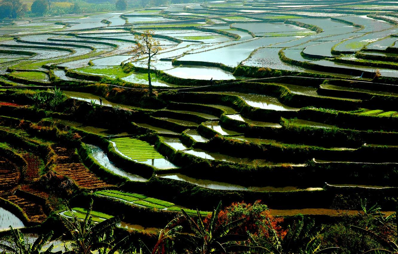 Wallpaper nature water china vegetation rice paddies rizires 1332x850