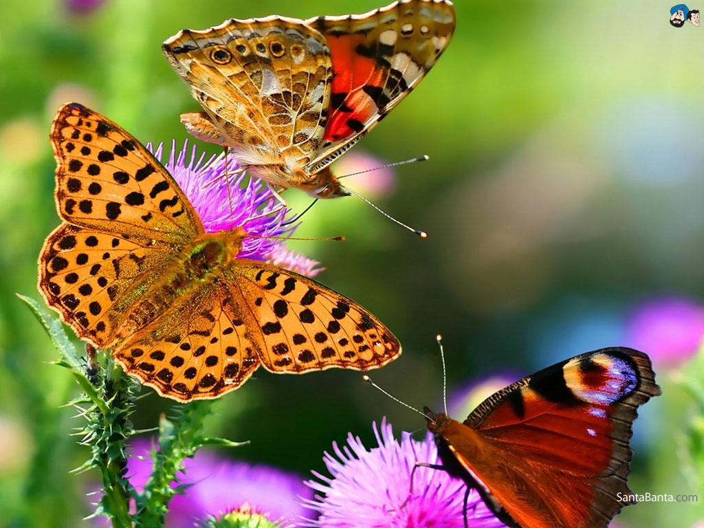 Butterfly Wallpaper 5 1024x768