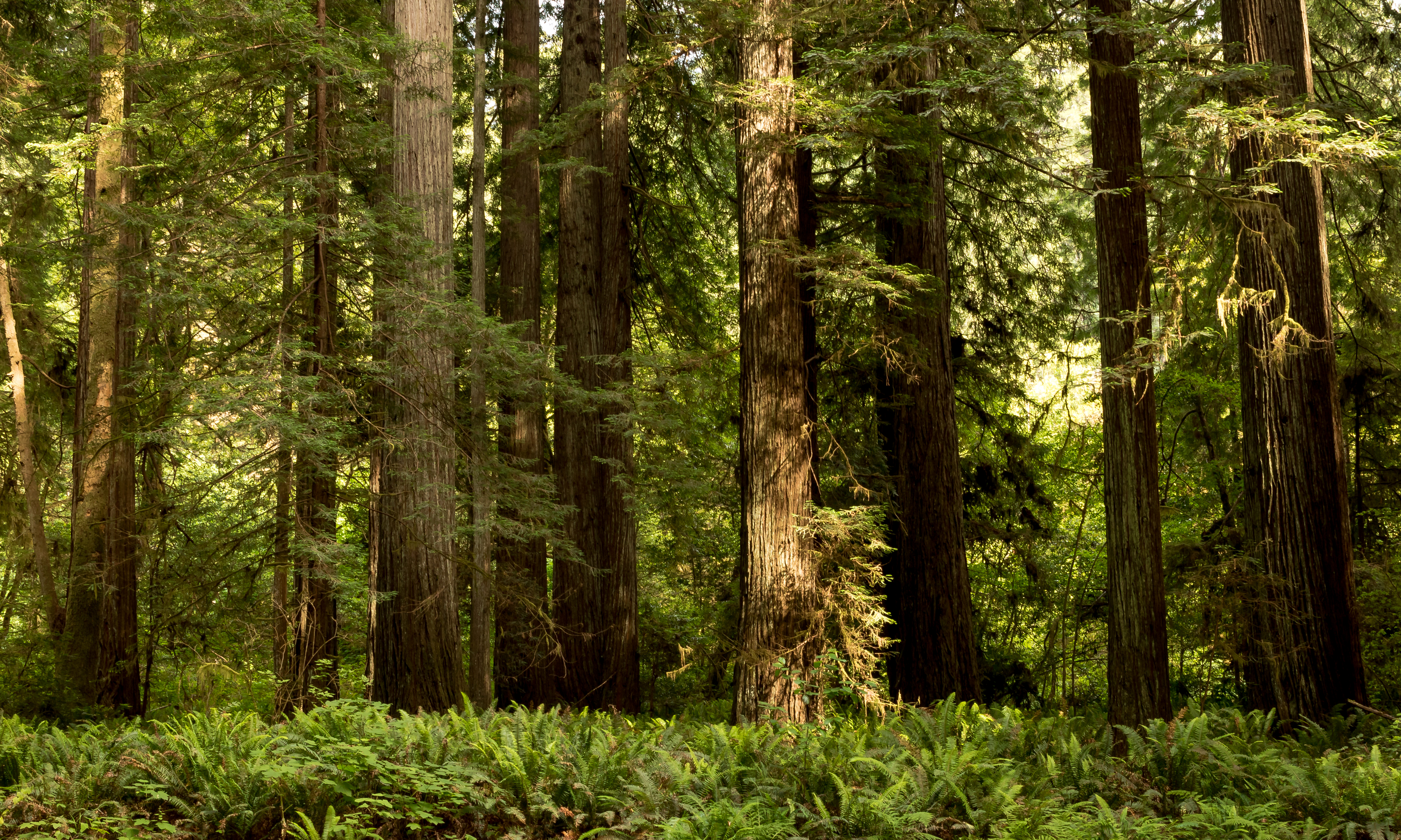 Wallpapers California USA Redwood National State Parks 5000x3000 5000x3000