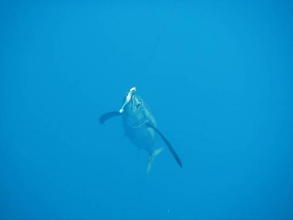 Underwater TUNA picture needed   wwwifishnet 600x450