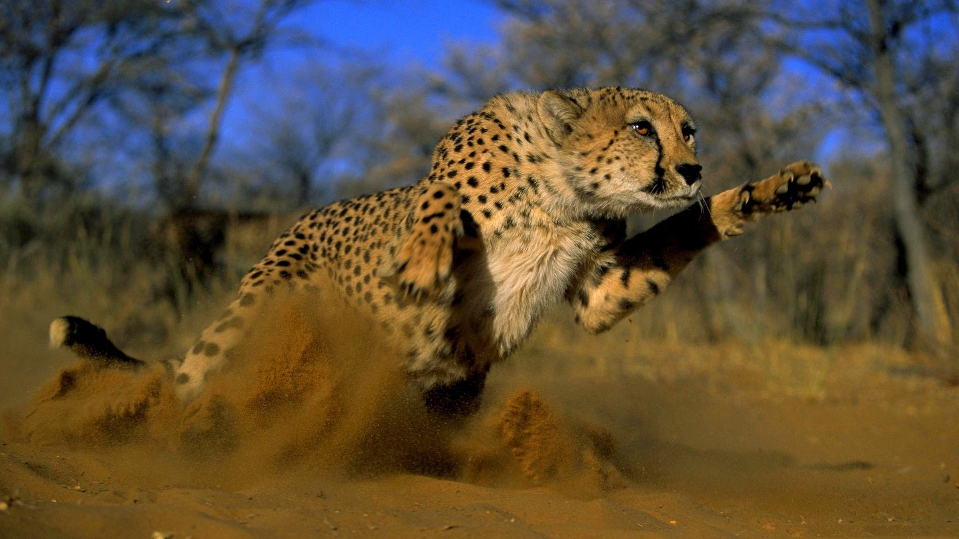 running Cheetah Running   HD Wallpapers Smashing HD Wallpapers 1920x1080