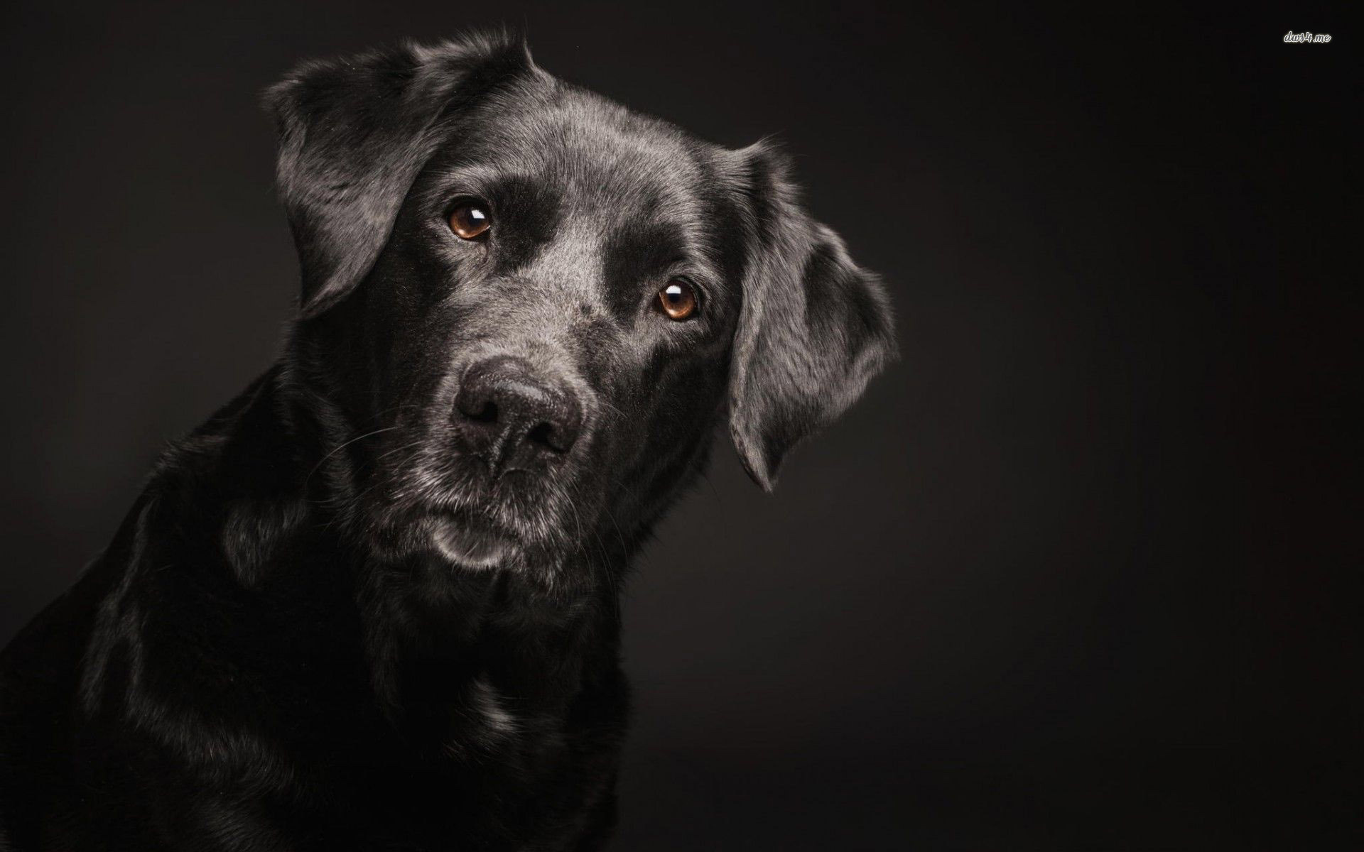 Black Labrador Retriver wallpaper   Animal wallpapers   29801 1920x1200