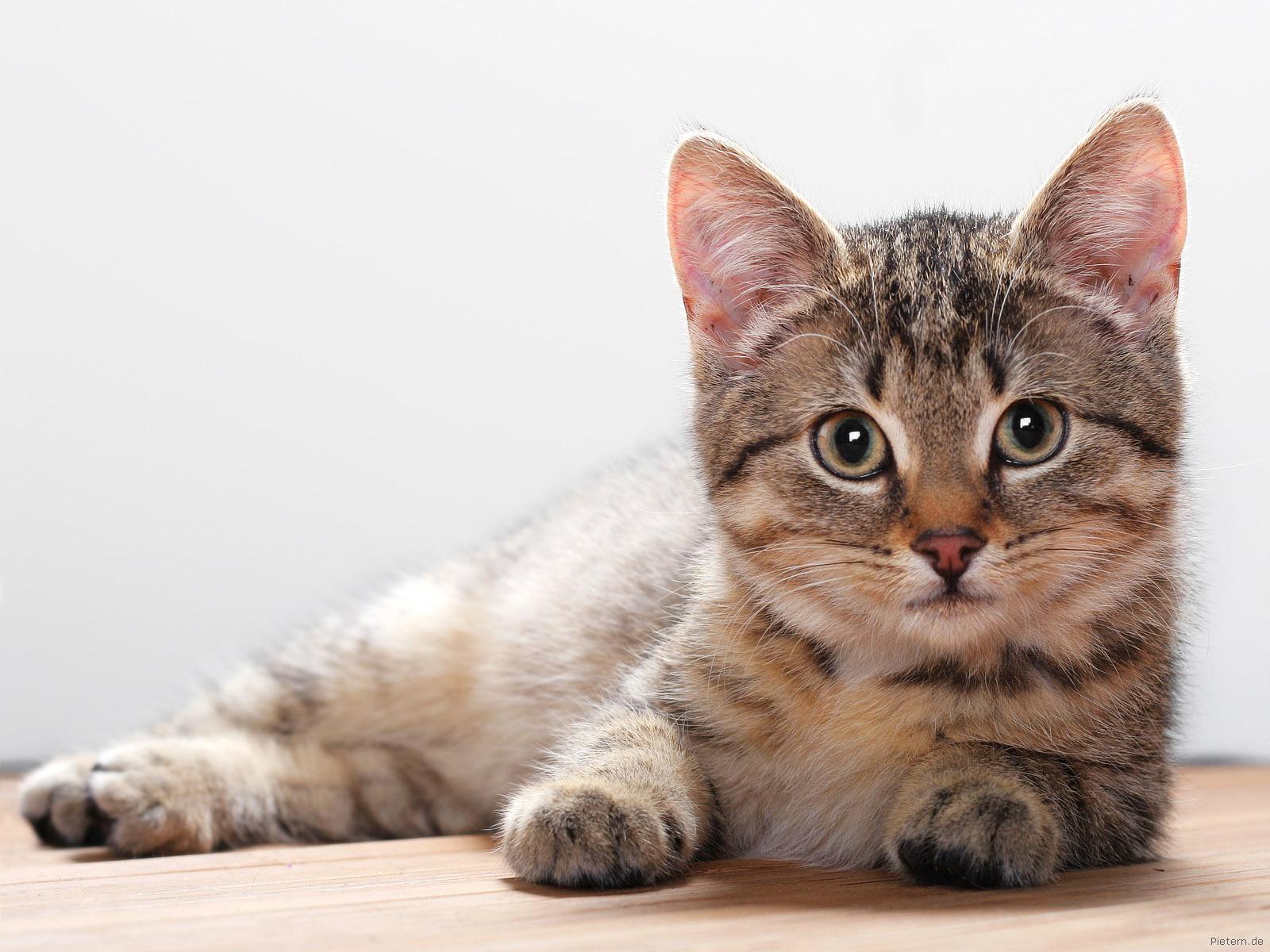 Cute Kitty Wallpaper   Cats Wallpaper 10533676 1600x1200
