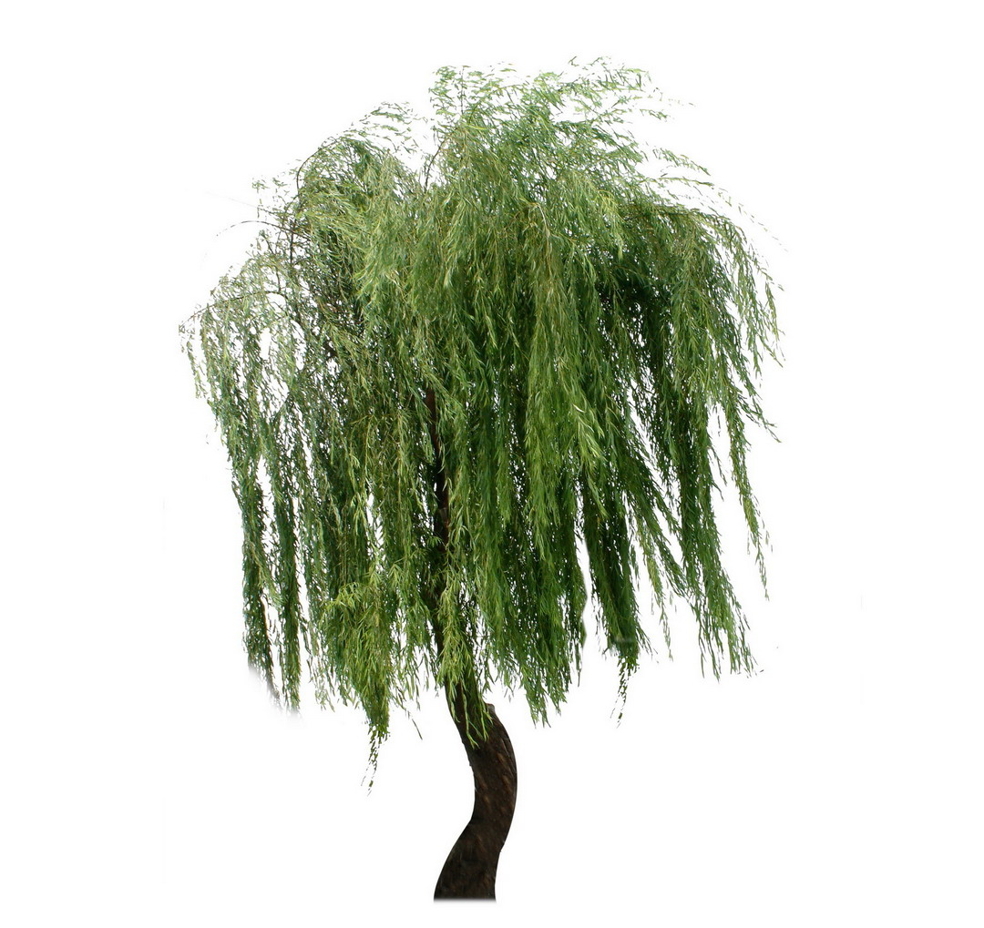 weeping willow tree pictures Trees and Flowers Pictures 1080x1019