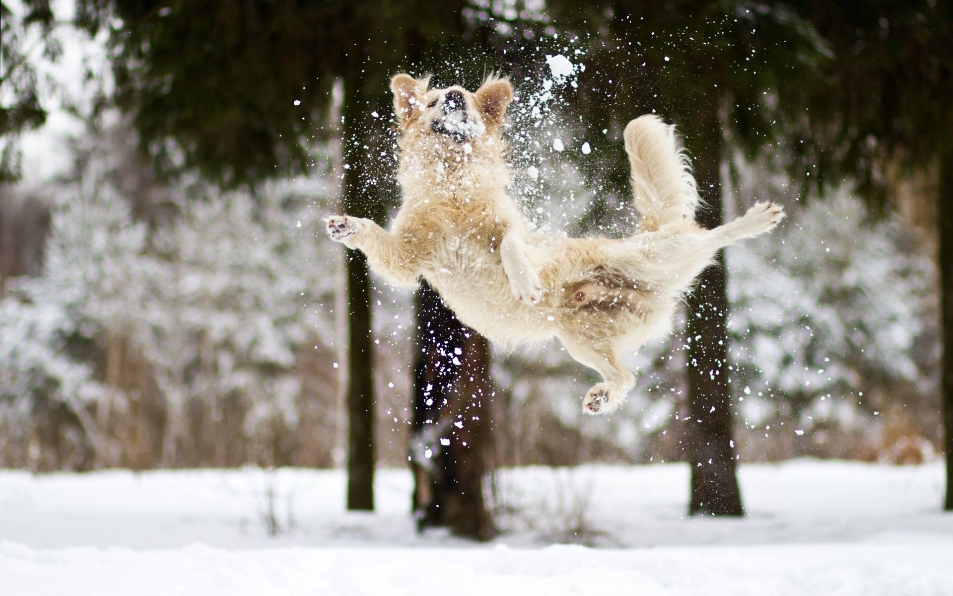 jumping in the snow   Dogs Wallpaper 1920x1200