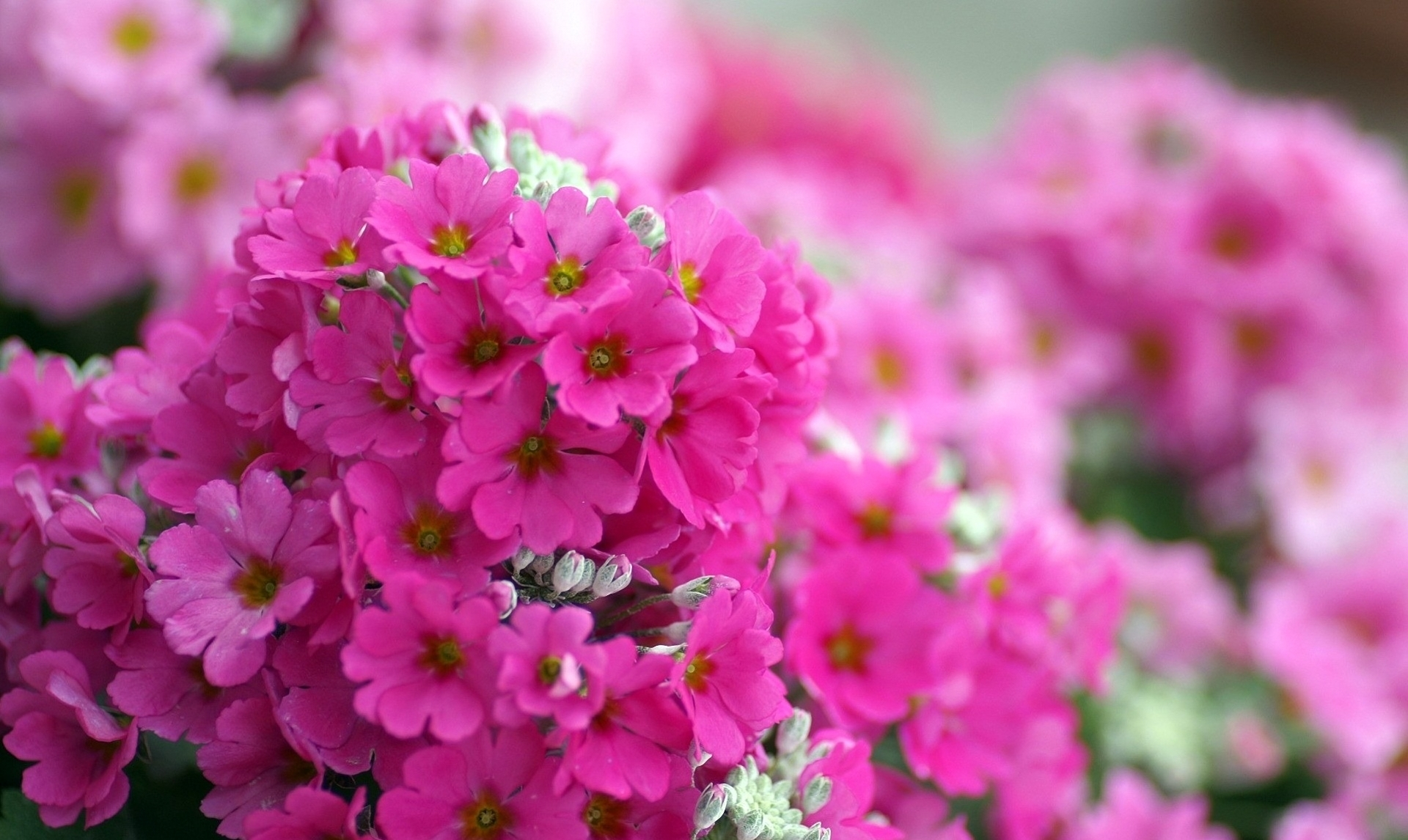 free flower desktop backgrounds id 38576 source this