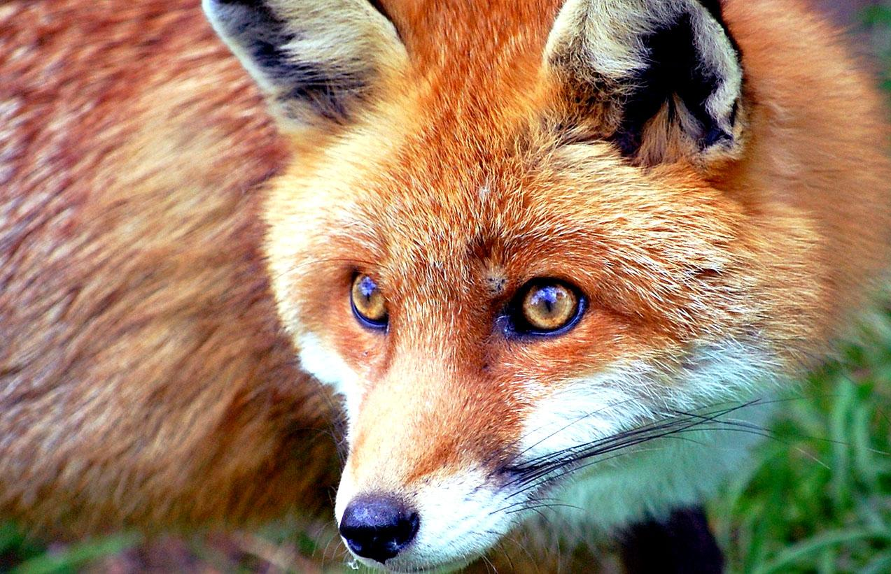 Red fox wallpaper wallpapersafari - Fox desktop background ...