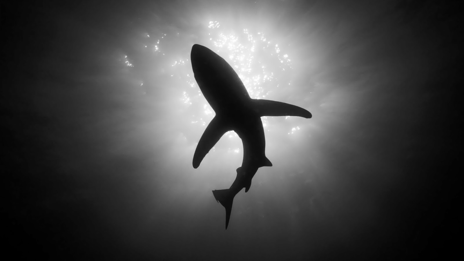 Black and white wallpaper of a shark HD Animals Wallpapers 1600x900