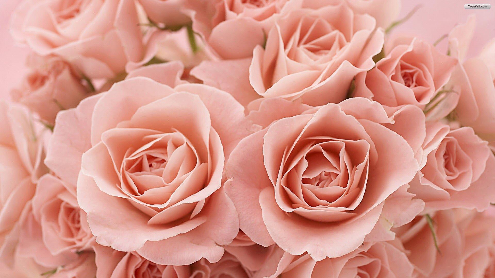 47 Free Pink Rose Wallpaper On Wallpapersafari