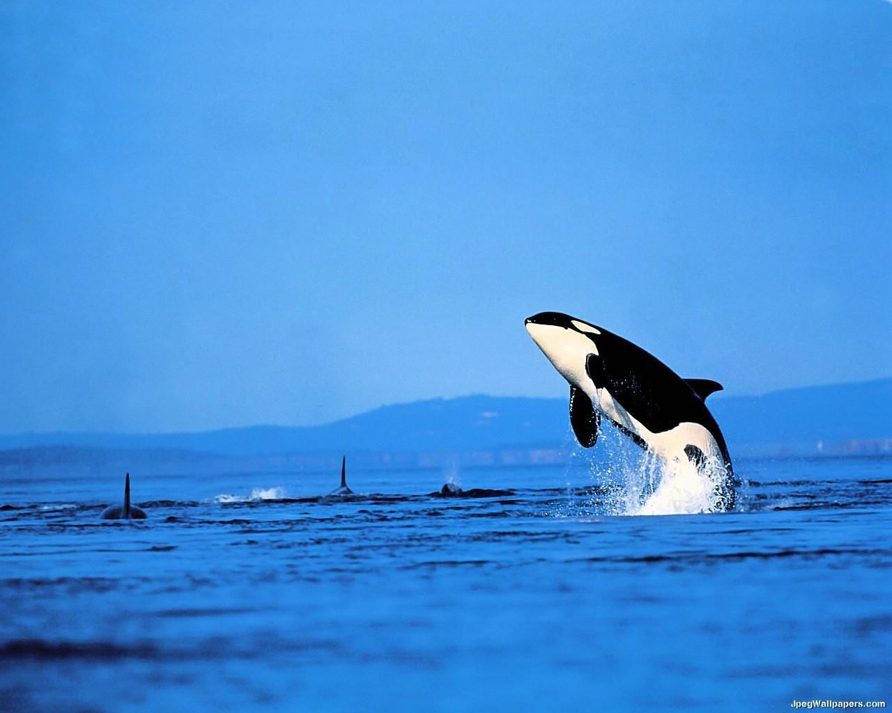 Killer Whale wallpaper 1280x1024