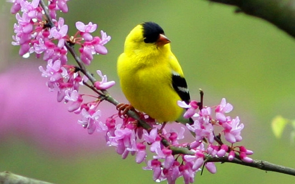 birdspink flowers birds pink flowers goldfinch 1920x1200 wallpaper 600x375