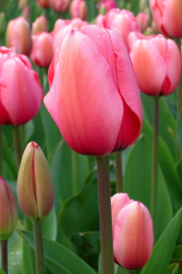 Tulip wallpaper for iPhone 44s 640x960