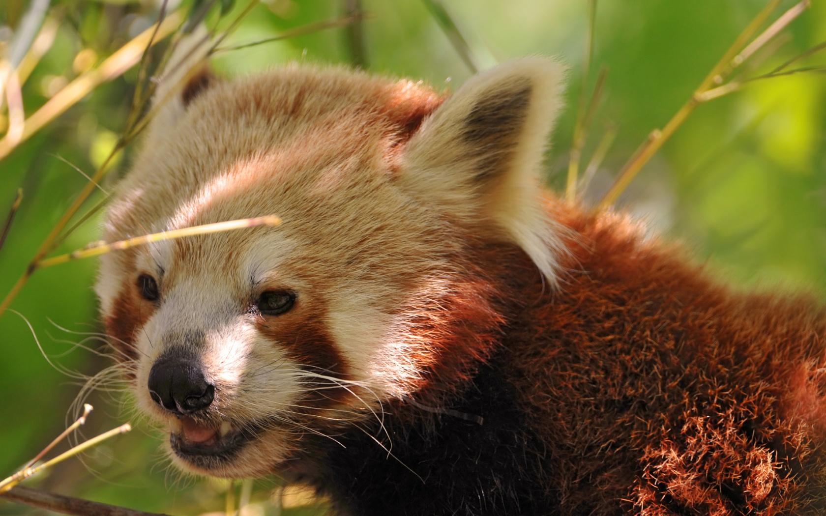 Cute Red Panda Wallpaper - WallpaperSafari | 1680 x 1050 jpeg 508kB