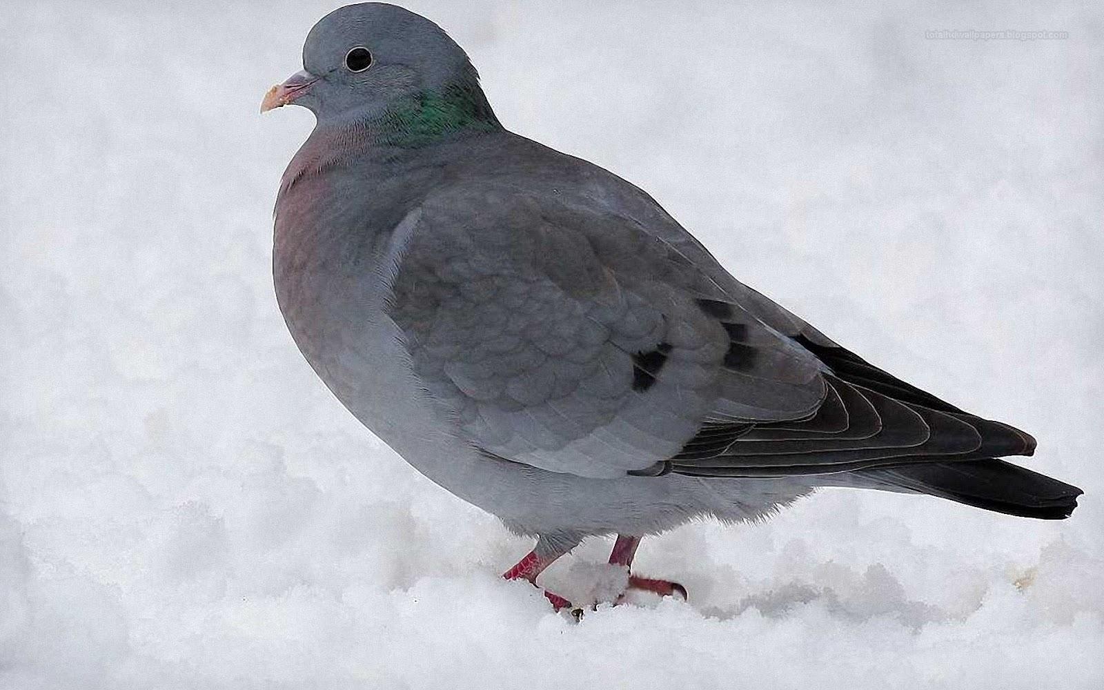 Doves Wallpaper Desktop
