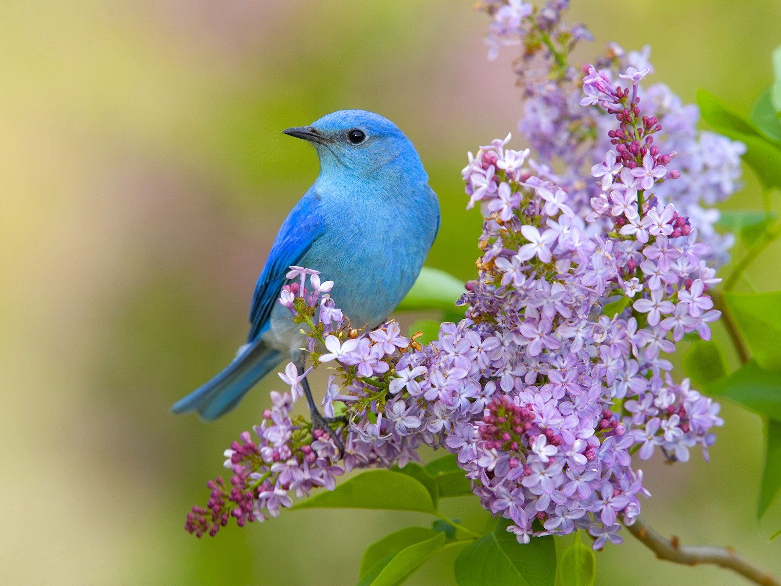 Flowers birds lilac bluebirds wallpaper 1600x1200 328072 1600x1200