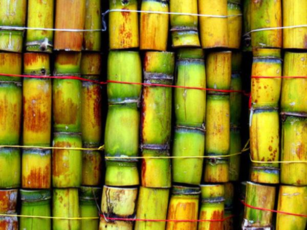 Green Sugar Cane 600x450