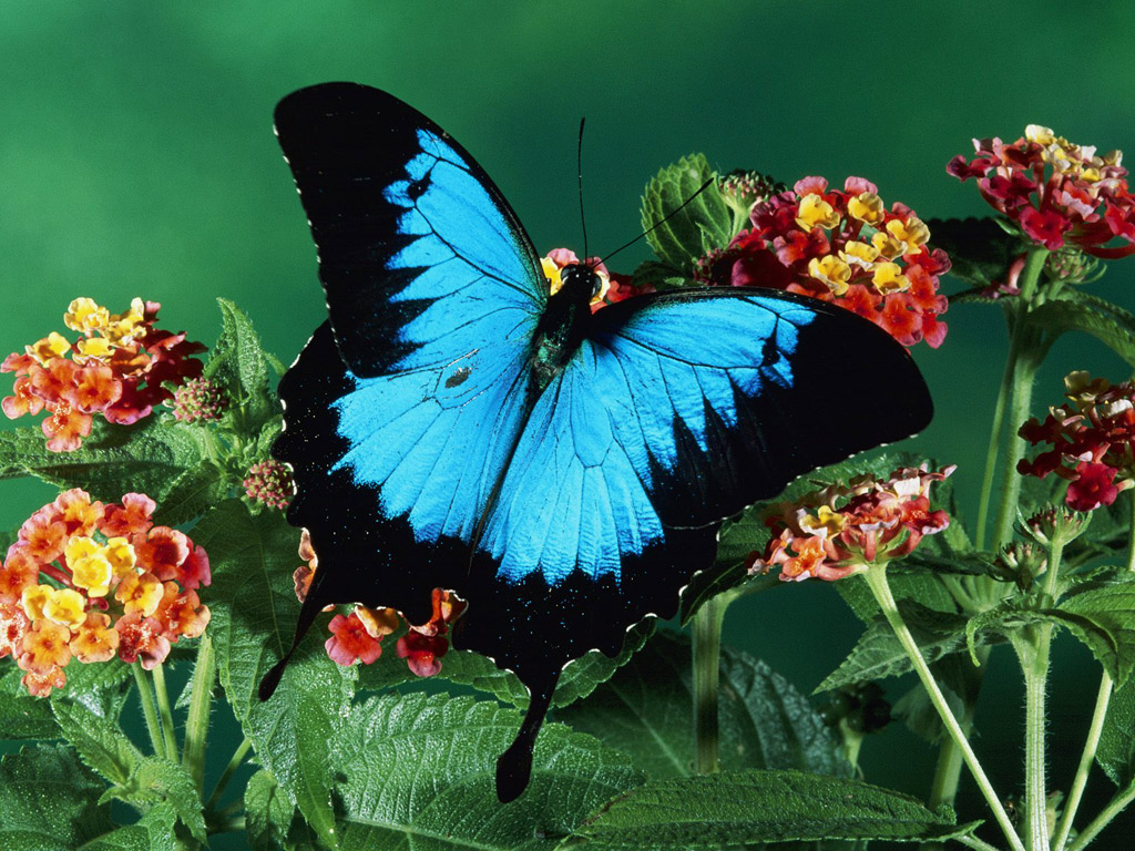 Blue butterfly wallpaper 1024x768