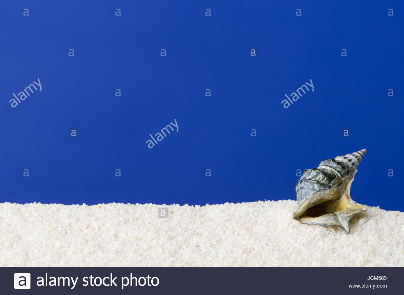 Sea snail shell on white sand with ultramarine background Small 1300x951