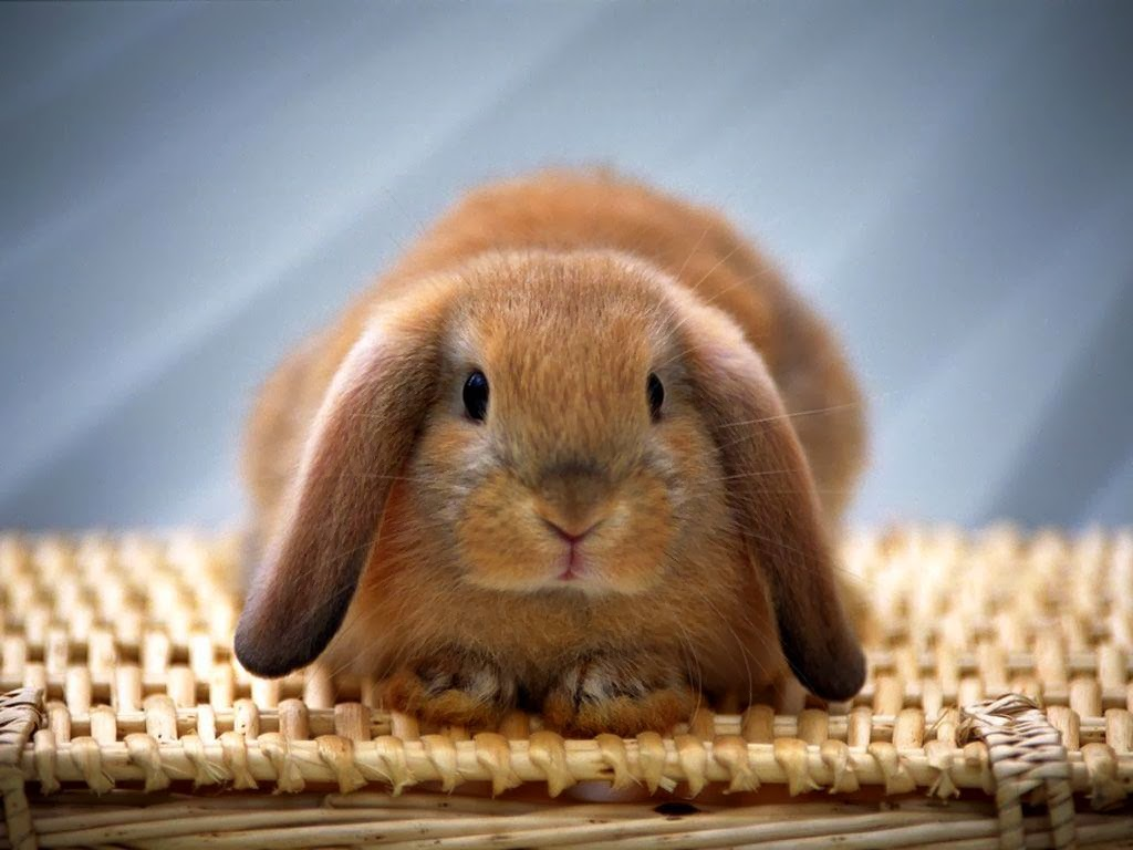HD Wallpapers Downloads Beautiful Baby Rabbits Wallpapers 1024x768