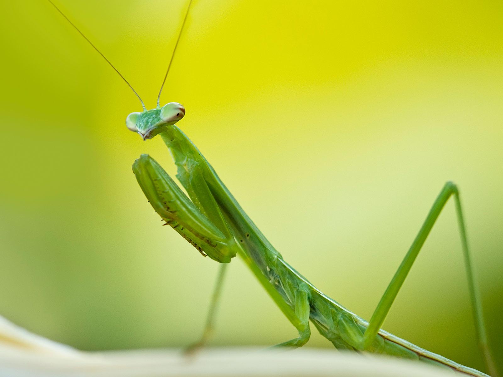 Biollante vs Praying Mantis DReager1com 1600x1200