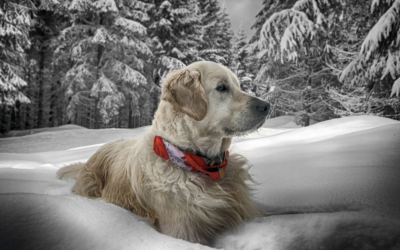 Wallpaper of a dog in the snow HD Animals Wallpapers 1600x1000