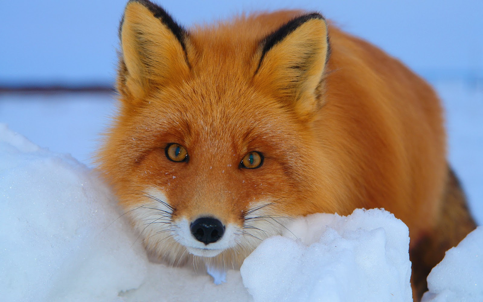Fox wallpaper with a red fox in the snow HD animals wallpapers 1600x1000