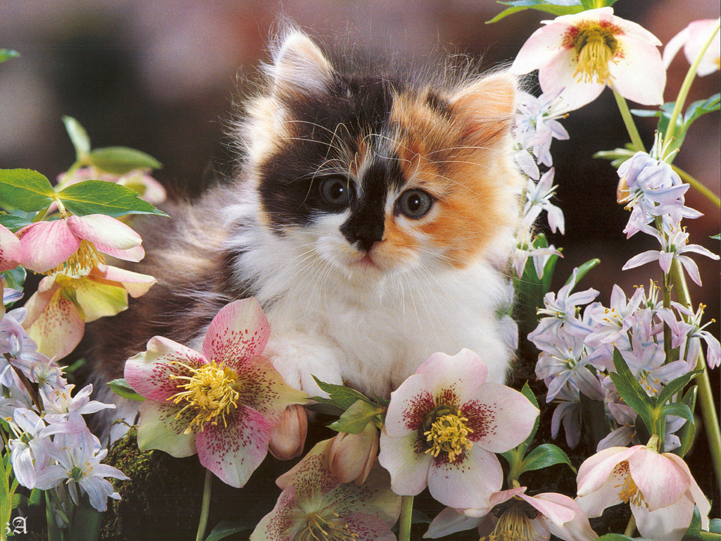 Free cat wallpapers and screensavers wallpapersafari - Kitten backgrounds ...