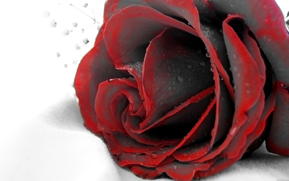 Black red rose wallpaper   ForWallpapercom 969x606