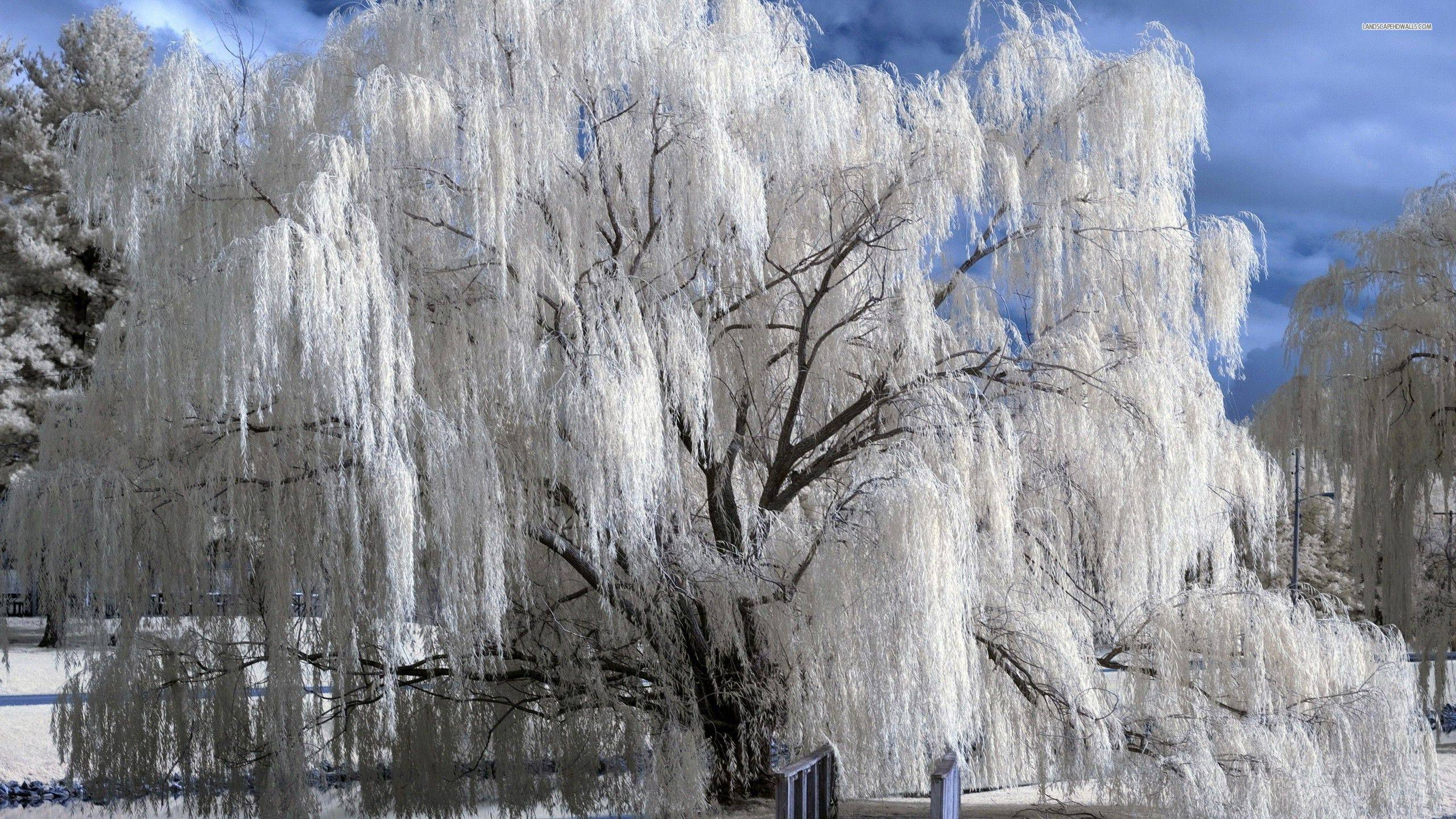 Weeping Willow Wallpapers 2560x1440