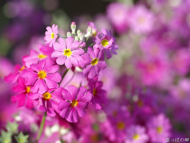 Small Pink Flowers Nature Flowers Wallpaper Nature Flower Wallpapers 640x480