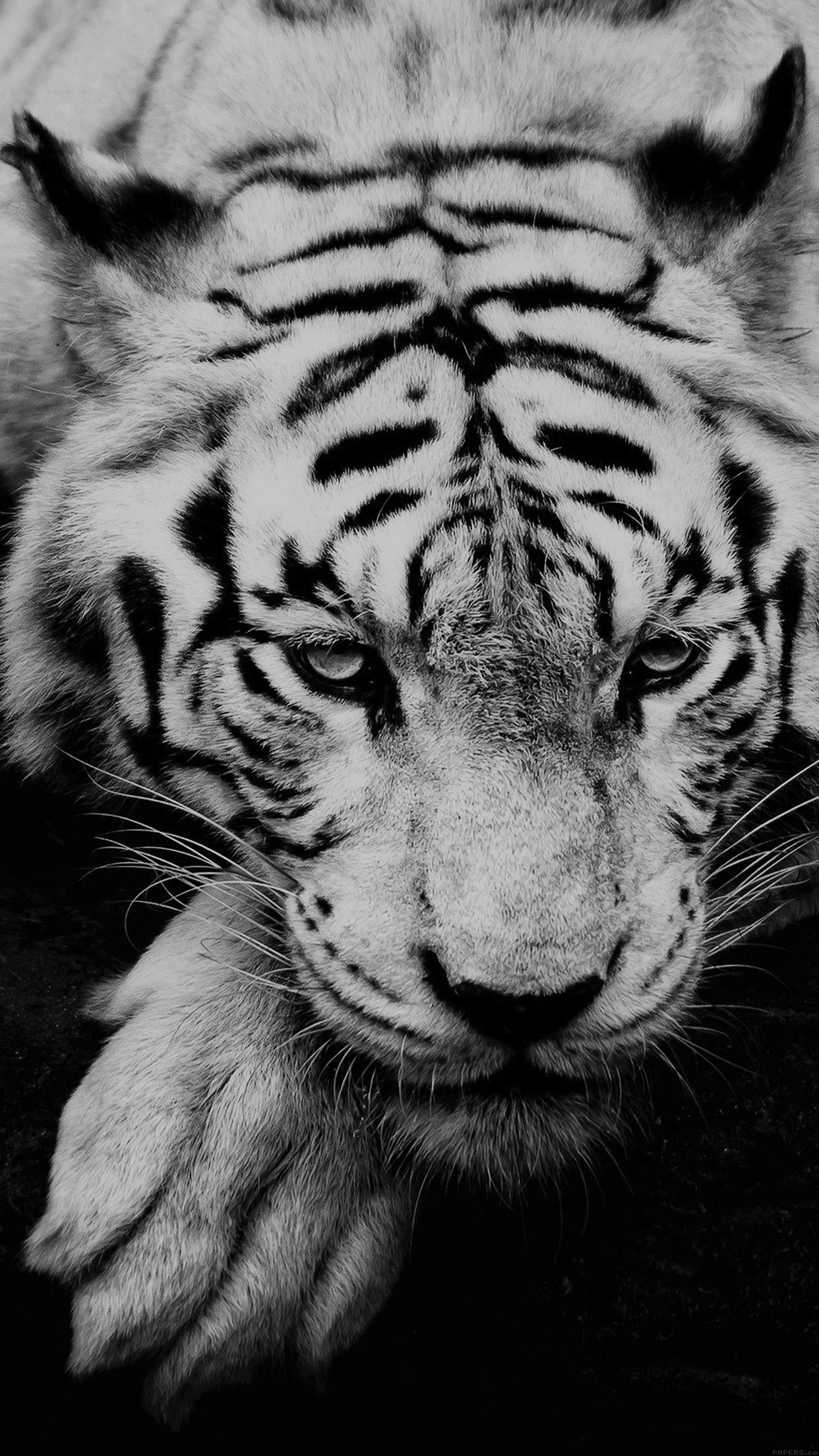 White Siberian Tiger iPhone 6 Plus HD Wallpaper iPod Wallpaper HD 1242x2208